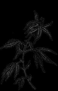 Hanf - Pflanze Ölsaat