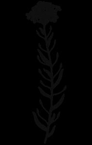 Leindotter - Pflanze Ölsaat